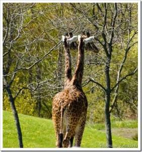 Zuando os animais: Girafa siamesa, não pera...